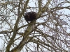 The nest installed on the aspen is promising to be nested with falcons