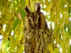 Long-eared Owl on the weeping willow
