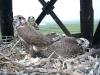 Chicks 'Gagarin' and 'Irina' in the nest