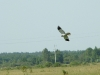 We were lucky to record a male of Hen Harrier