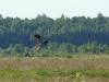 Montagu's Harrier found something in a dense grass