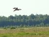 Male of Montagu's Harrier