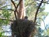 Great Grey Owl guards its chicks