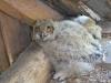 Eagle Owl's chicks in the bathhouse attic