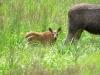Curious elk foal