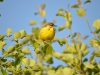 Male of the Yellow Wagtail