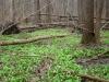Abundant ramson thickets