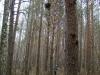 Nest of a bird of prey (Buzzard or Goshawk)