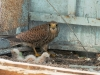 The Kestrel with chicks on the balcony of the building. Photo by Igor Byshnev