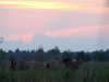 Grazing Przewalski's horses at the sunset