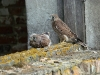 Kestrel fledglings in the village Il'intsy
