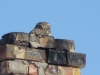 Little Owls were often met in the settlements