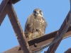 Saker Falcon peers at the photographer with no signs of disturbance