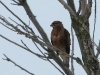 Buzzard was one of abundant raptors