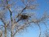 A Long-legged Buzzard's  nest