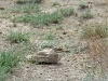 The hidden Stone Curlew