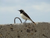 A male of the Pier Wheatear