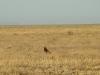 The Steppe Eagle