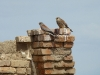 A pair of Lesser Kestrels in an abandoned village