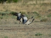 Demoiselle Cranes are flying off