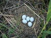 A nest of the Pallid Harrier
