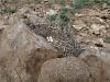 A Buzzard's nest is found