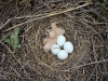 A new chick hatched in the nest of the Pallid Harrier