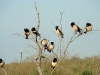 A group of Rose Starlings
