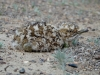 A chick of the Houbara Bustard