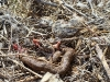 The boa is a frequent prey of birds of prey