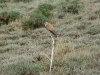A male of the Common Kestrel