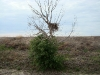 The Long-legged Buzzard's nest at a height of 3.5 m, a rarity in this region