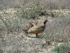 The Black-bellied Sandgrouse