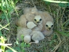 Chicks of the Pallid Harrier