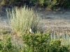 A fledgling of the Desert Warbler