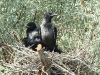 Chicks of a hybrid pair (Hooded Crow X Carrion Crow)