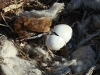 Hatching in a nest of the Steppe Eagle