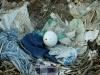 Naturally, an eagle's chick is hatching