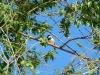An Indian Sparrow