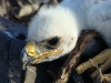 An Eagle's chick