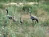 Houbara Bustards are leading away the chicks