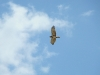 A Short-toed Eagle
