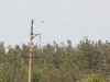 Short-toed Eagle on the power line poles