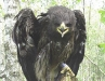 Great Spotted Eagle