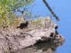 Mink at the Desna River