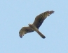Female of Montagu's Harrier