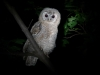 A fledgling of the Tawny Owl, about two months age.