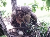 A nest of Black Kite