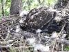A nest of Common Buzzard