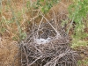 Nest of the Red-footed Falcon on the ground